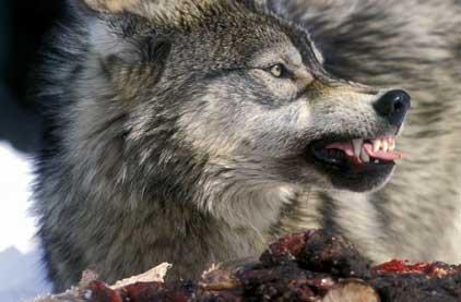 wolf, wolves, attack, fatality, kill, hunt, predator, endangered, regulation, shoot, hunting, guns, gun, canada, saskatchewan