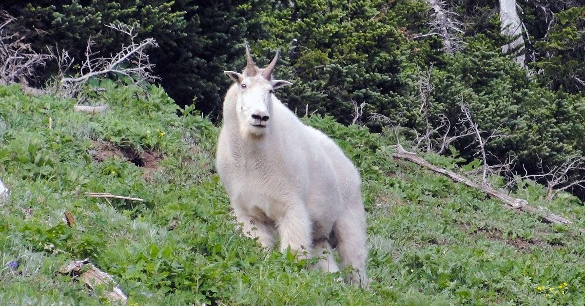 Mountain Goat Goring Lawsuit Dismissed
