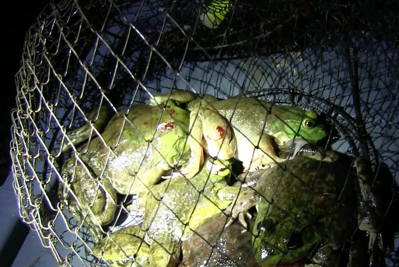 Friday Night Frog Hunt