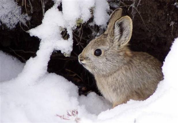 httpswww.fieldandstream.comsitesfieldandstream.comfilesimport2014importBlogPostembedPygmy_rabbit.jpg