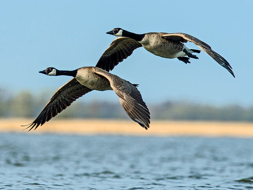 canada geese hunting