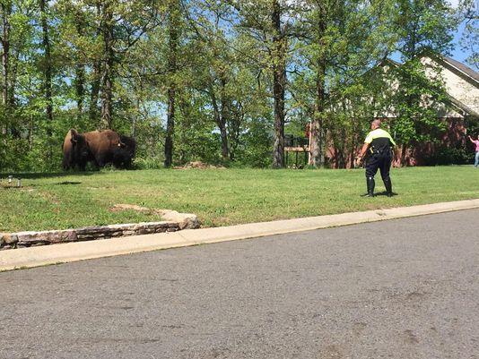 Small Herd of Escaped Buffalo Runs Amok in Arkansas Town