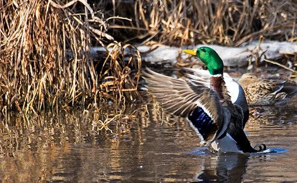 Identify Hot Spots for Wintering Ducks