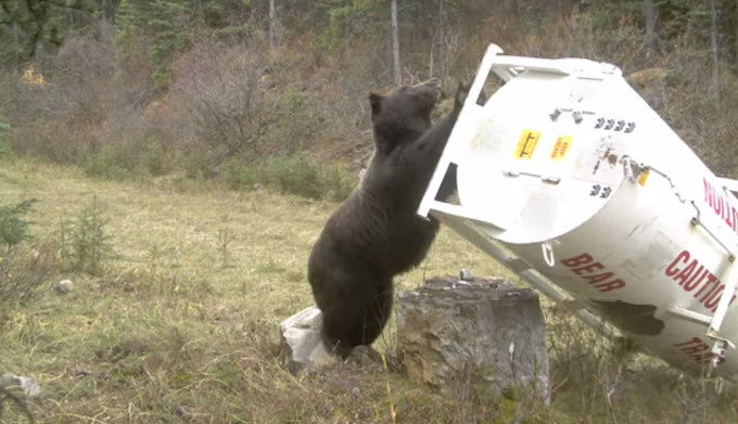 Video: Trail Cameras Capture Impressive and Entertaining Grizzly Behavior in Alberta