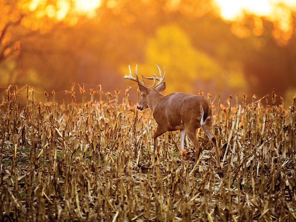 Pre-Rut buck in corn field