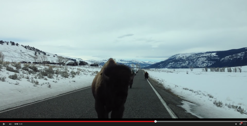 Video: Bison Rams Into Car in Yellowstone