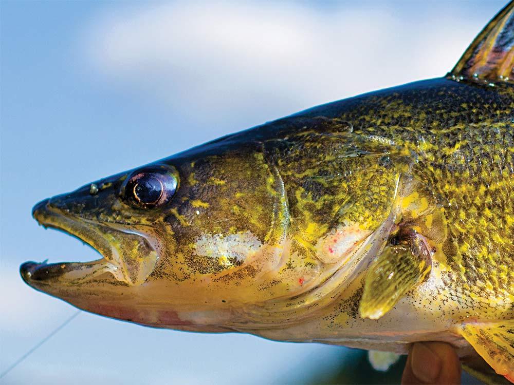 walleye cheeks