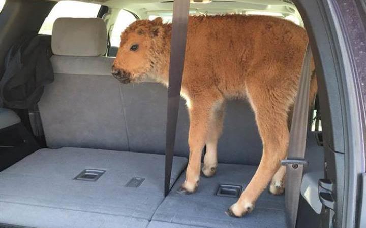 news, wildlife news, bison, baby bison, Yellowstone National Park, National Park News