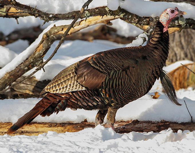 The Very Early Bird: How To Scout Winter Turkeys