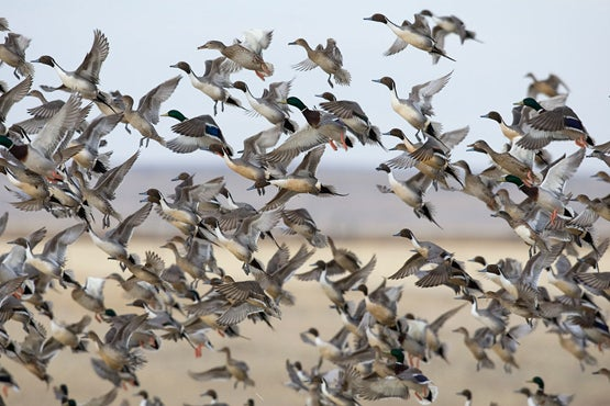 Latest Waterfowl Survey: Plenty of Wings In the Air, But This May Be The Last Best Season