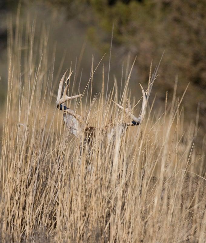 Whitetail Deer: Don't Overlook Bucks in the Grass