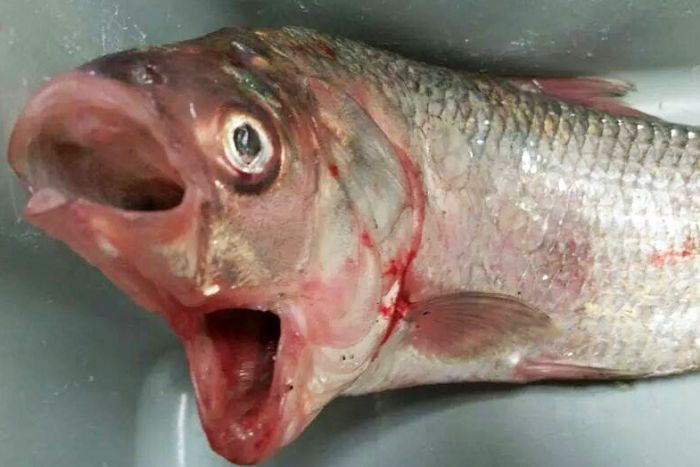 Odd Two-Mouthed Bream Caught by Australian Fisherman