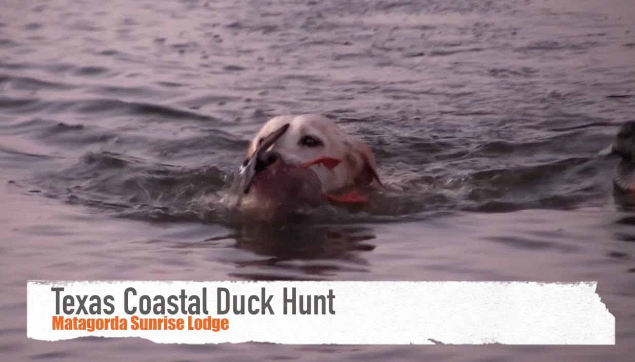 retriever with duck