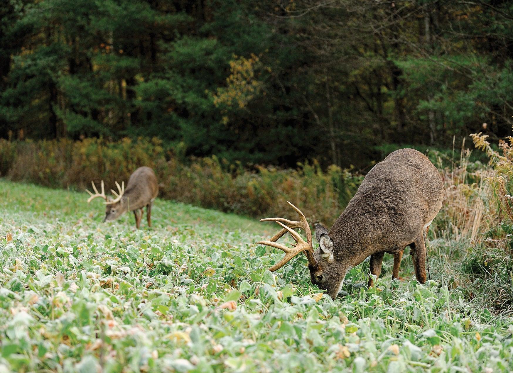 whitetail feeding habits,
