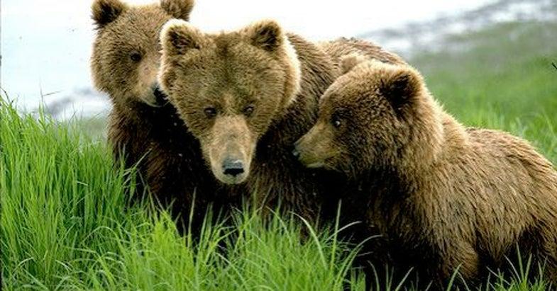 Man Harasses Bears While Wearing Bear Costume