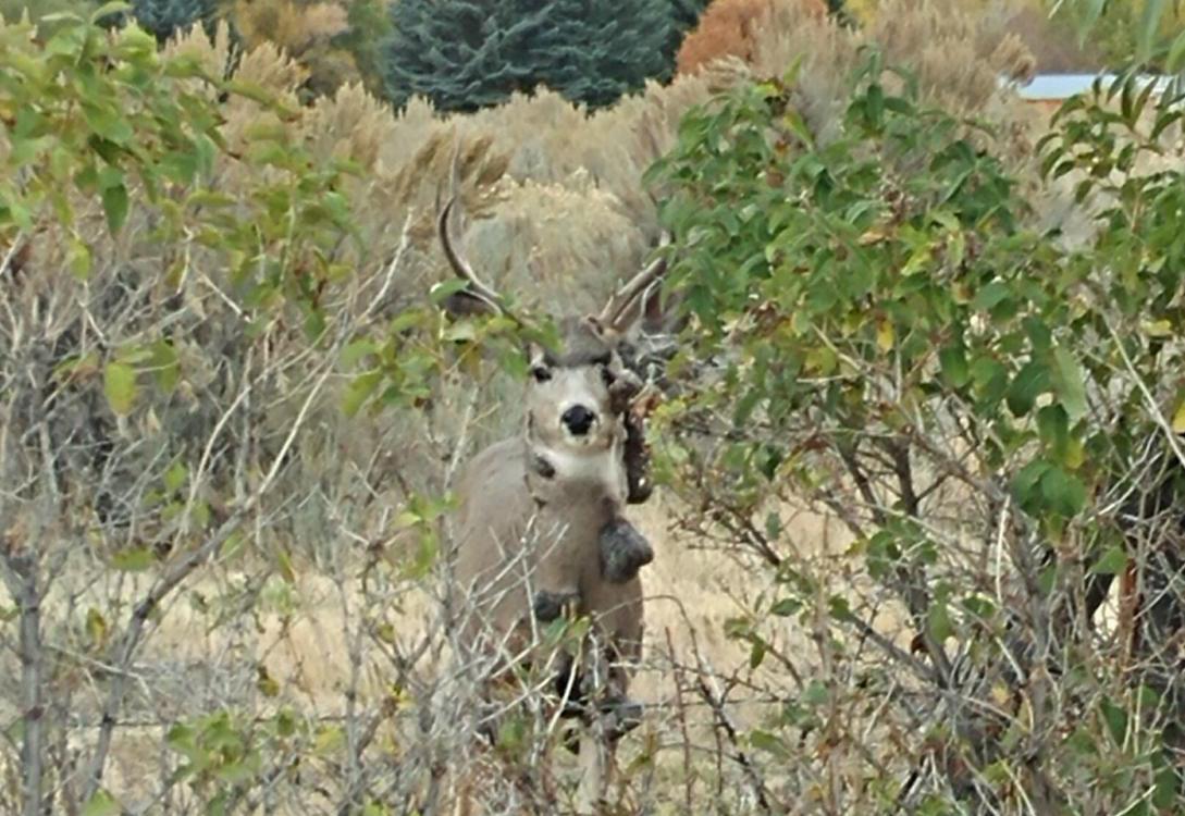 deer warts