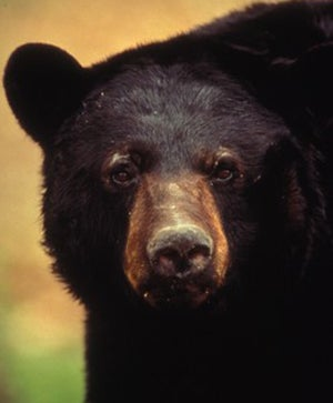 Three Charged With Feeding Wildlife After Neighbor Was Mauled by Bear