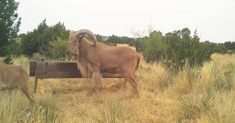 Rams Show Up on Texas Trail Cams