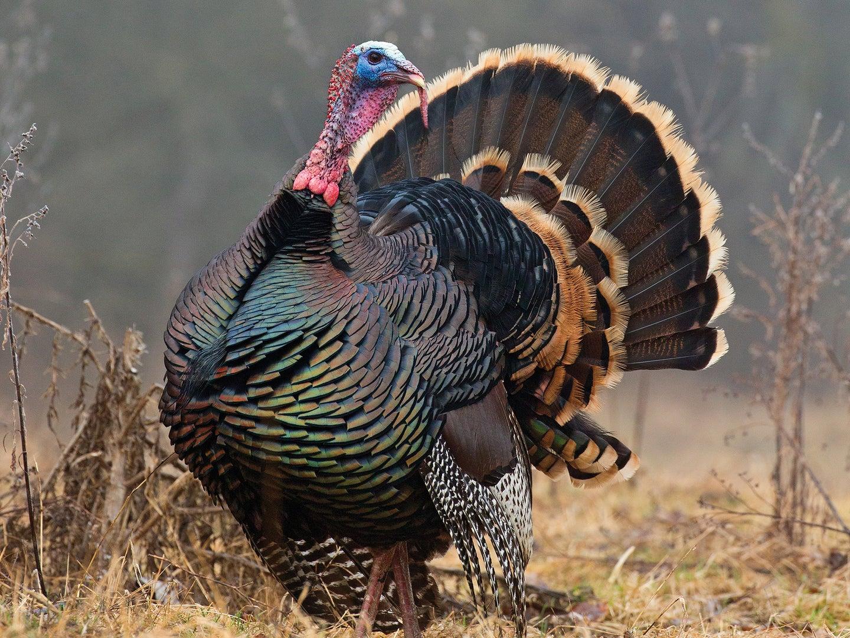 easy turkeys