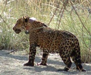 Protected Territory Established for Jaguars in Arizona and New Mexico