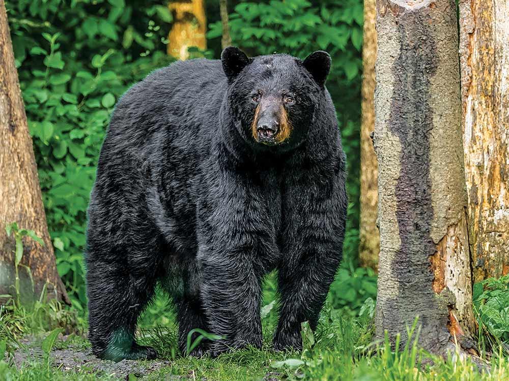 big bruin bear in the woods