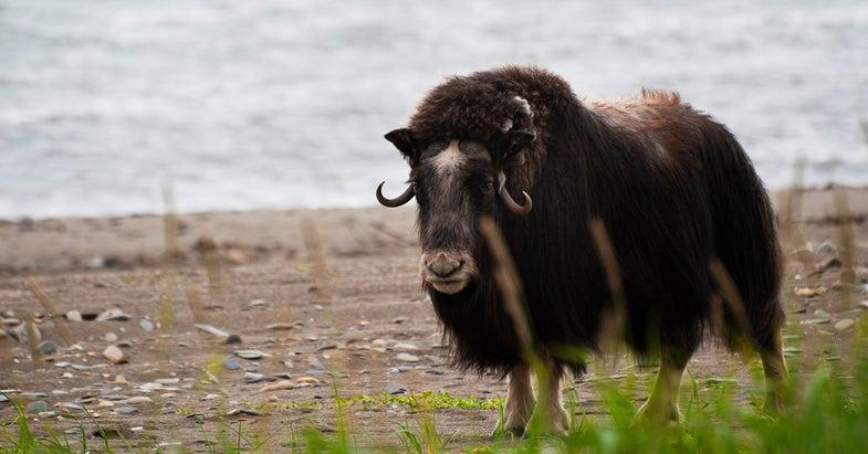 Alaskan Musk Ox Gores, Kills Sled Dog
