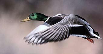 Duck Forecast 2006