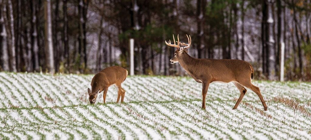 Estrous fawns draw bucks to food