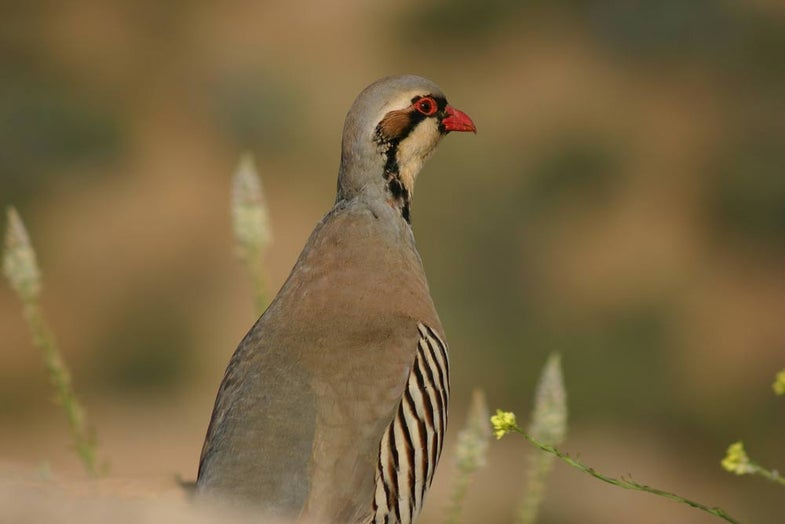 chukar upland bird sitting in the grass