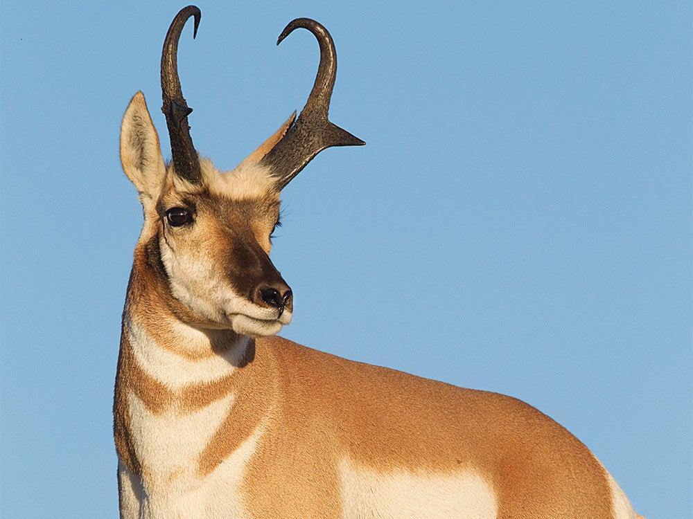 closeup image of a pronghorn