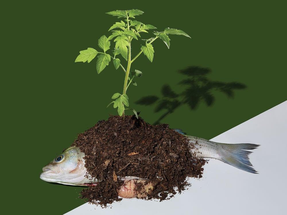 fish guts garden fertilizer