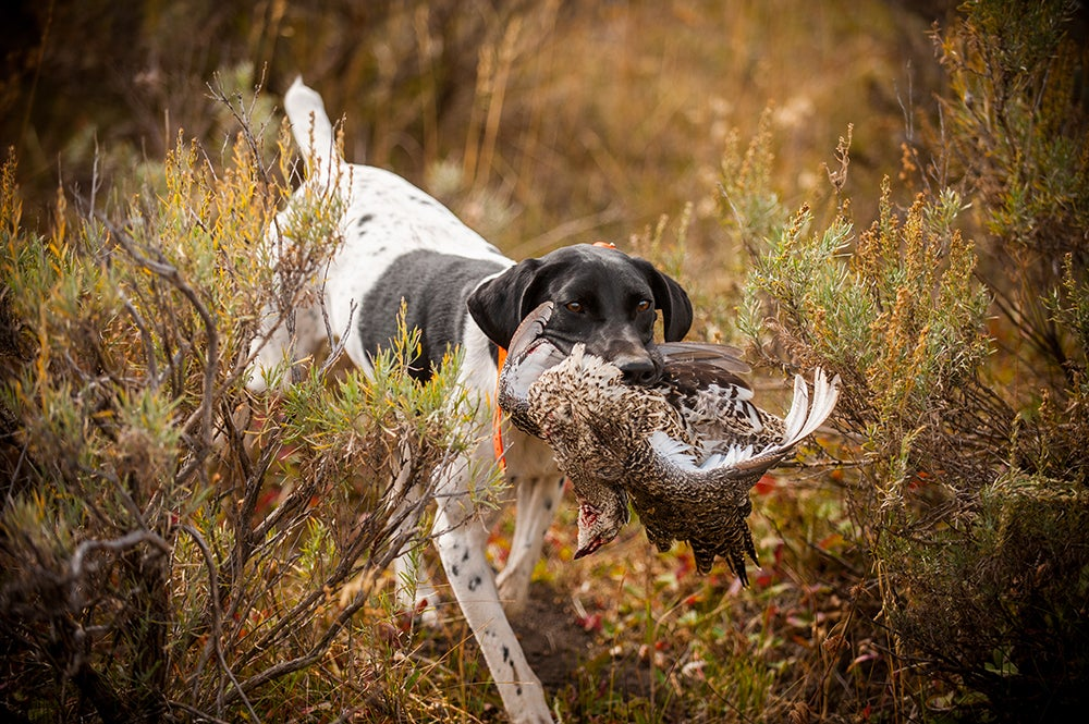 Get Your Hunting Dog in Shape Now For Your Best Bird Season Ever