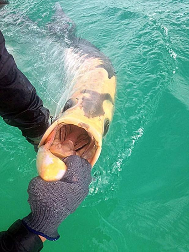 Rare Piebald Tarpon Caught And Released In The Gulf
