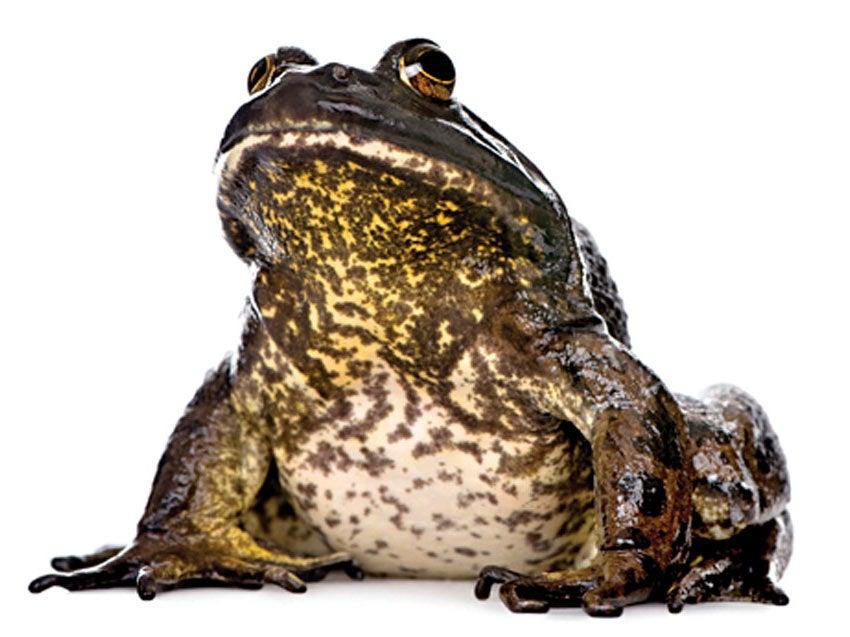 gig frog hunting summer