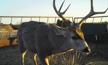 Rut Ramping Up in Texas Brush Country