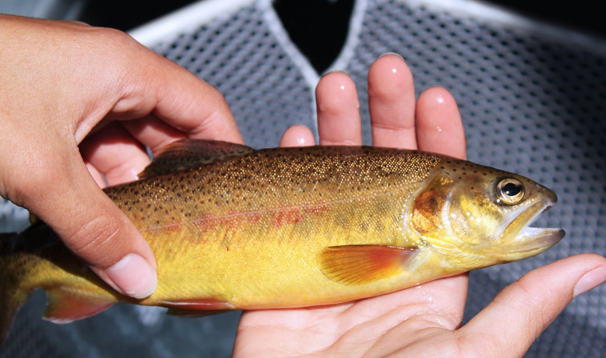 Gila Trout Restoration Efforts Expand in Arizona, New Mexico