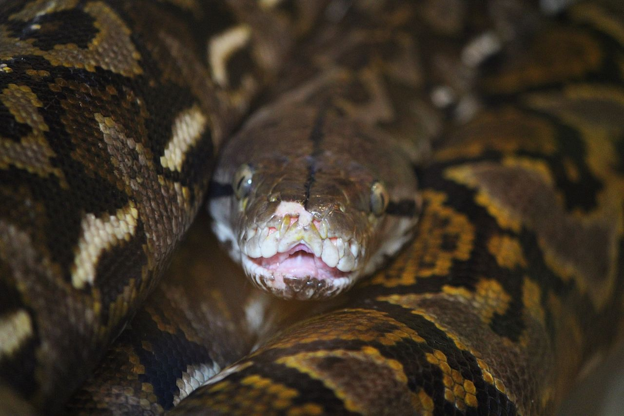 Giant Reticulated Python Kills and Eats Man in Indonesia