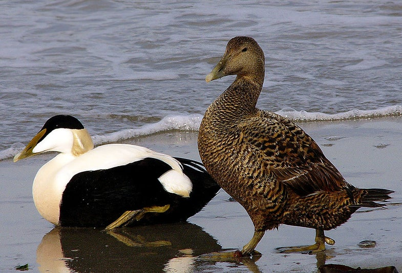Scientists Identify Virus Responsible for Thousands of Dead Eider Ducks