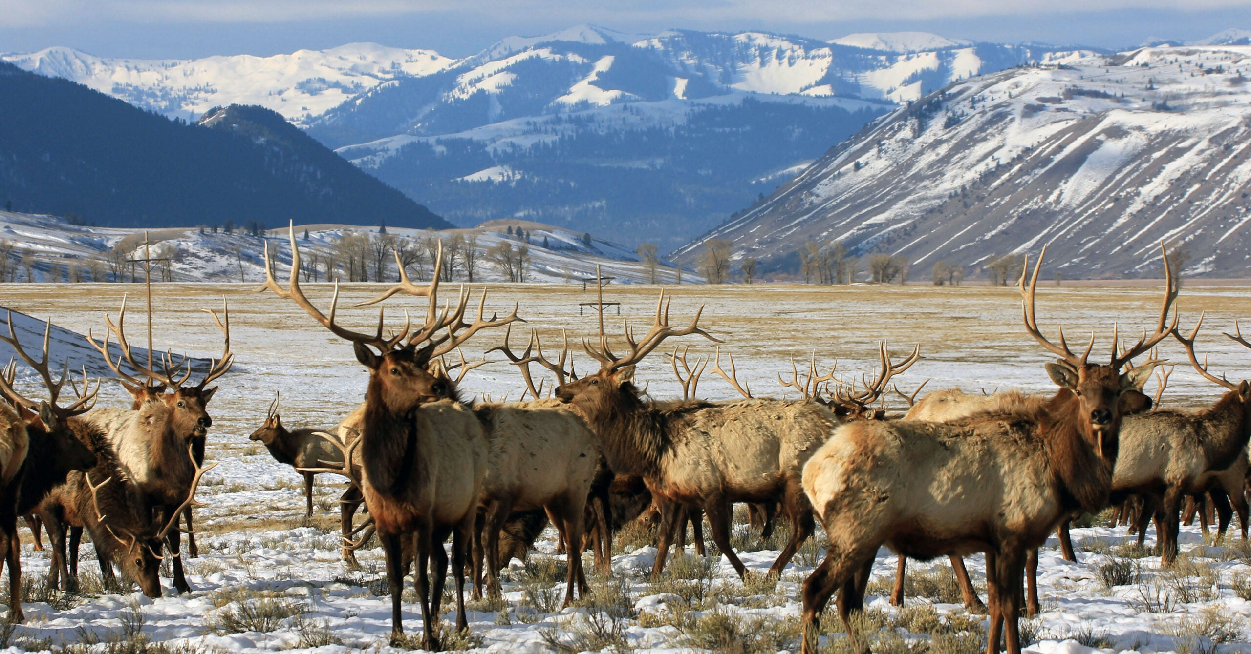 Study Finds Fewer Wyoming Elk Migrating