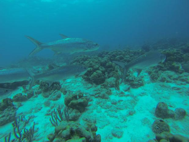 Diving with Tarpon Can Make You a Better Fly Angler