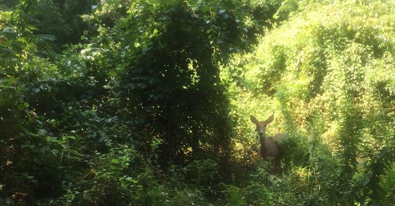 Fewer Deer But Bigger Bucks in the Northeast?