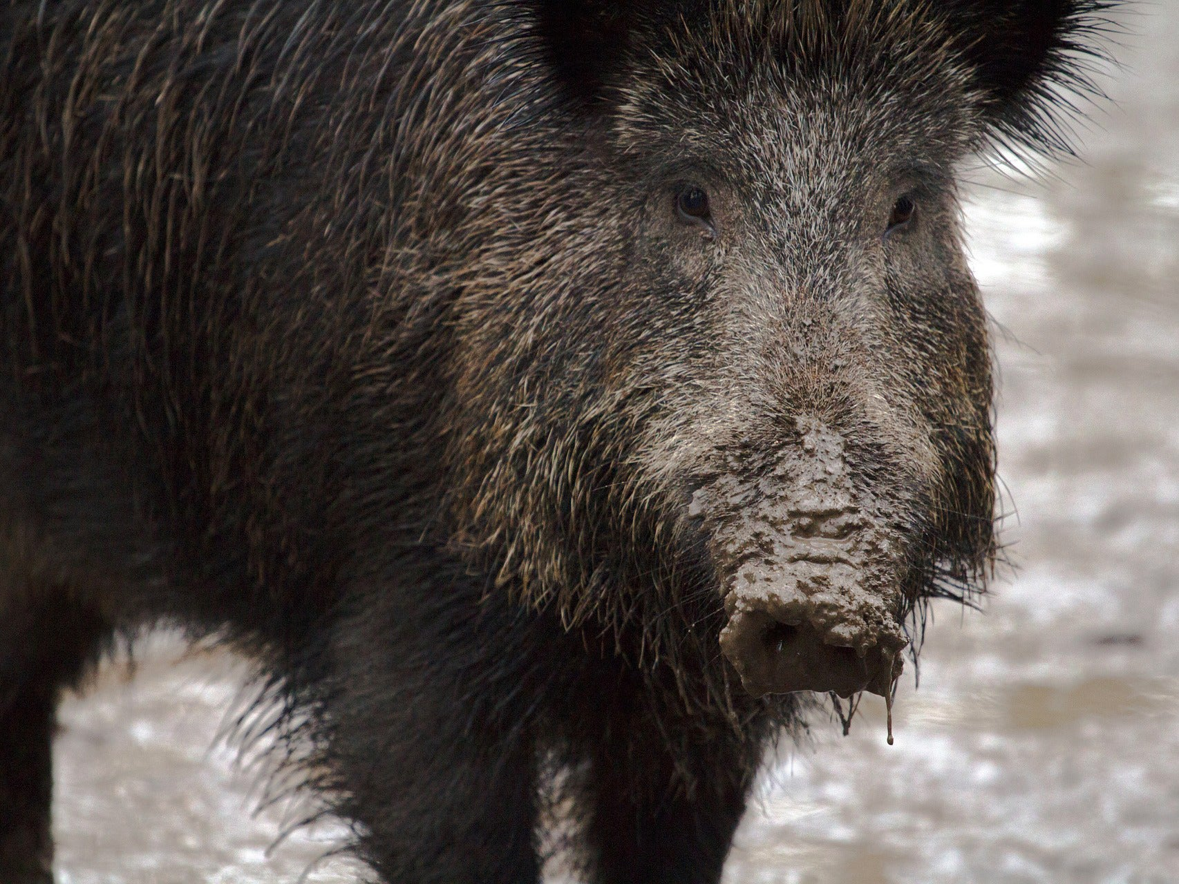 Wild Hogs Maul Three Islamic State Militants in Northern Iraq