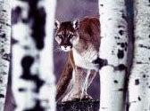 Police Kill Mountain Lion in South Dakota Town