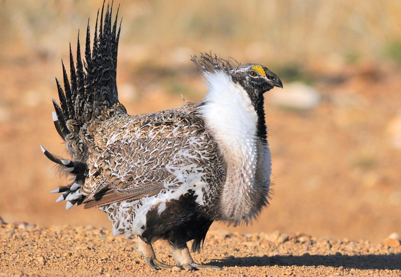 Gas Companies Want More Drilling on Wyoming Sage Grouse, Pronghorn Habitat