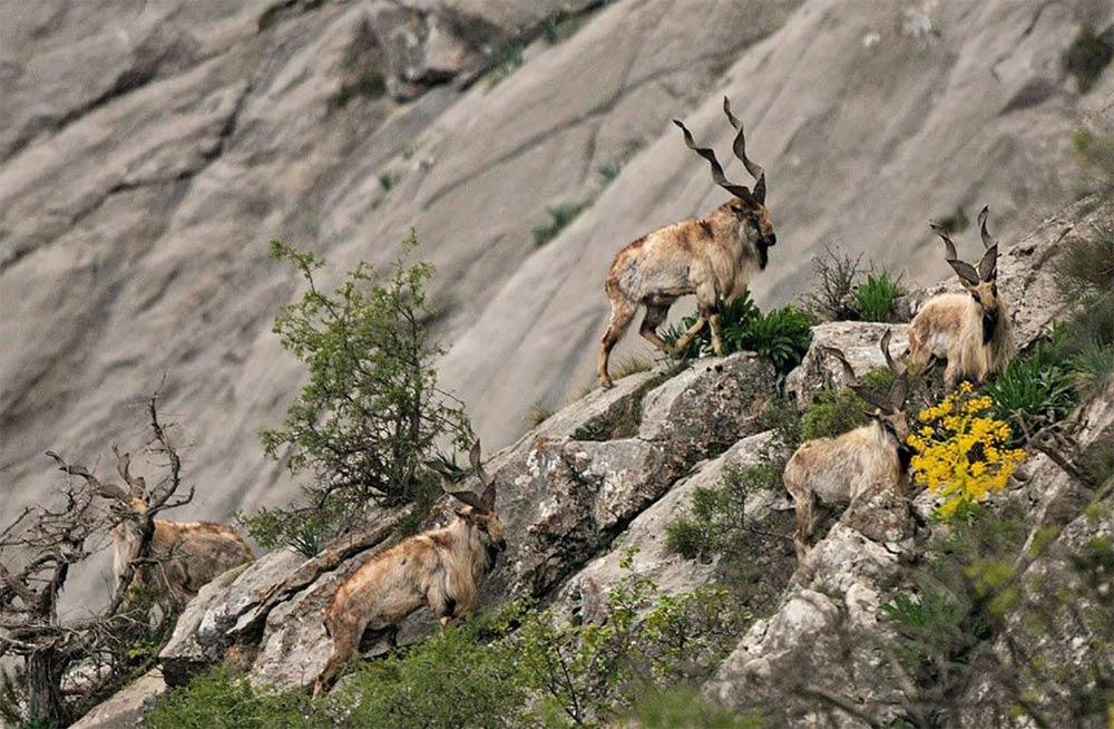 Markhor on a rocky slope in Tajikistan.