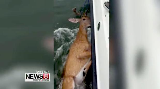 Fishermen Save Deer Found Seven Miles Offshore