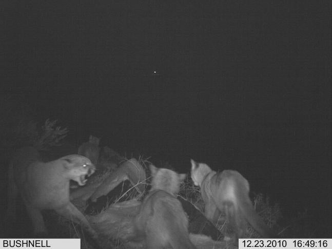 Study: Mountain Lions Are Actually Social Animals