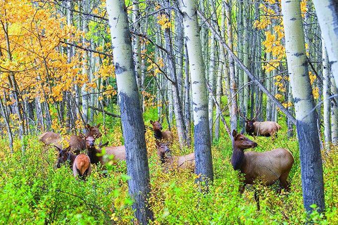 Elk Hunting: Archery Tactics for Post-Rut Bulls