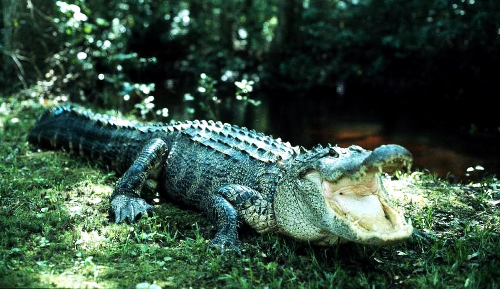 North Carolina Considers First Alligator Season