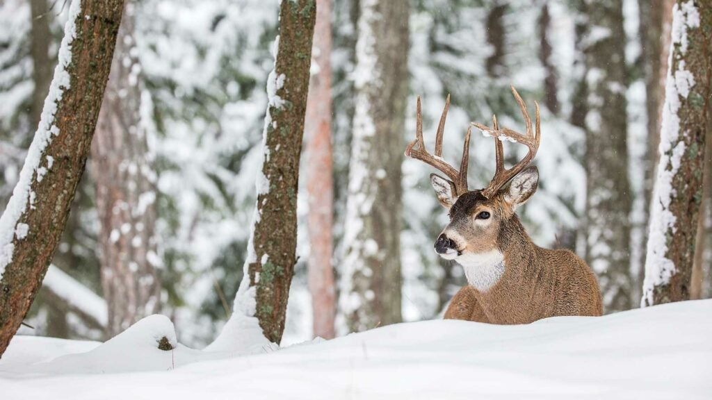 whitetail buck laying in snow